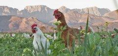 Farmer Rico's pasture-raised free range chickens