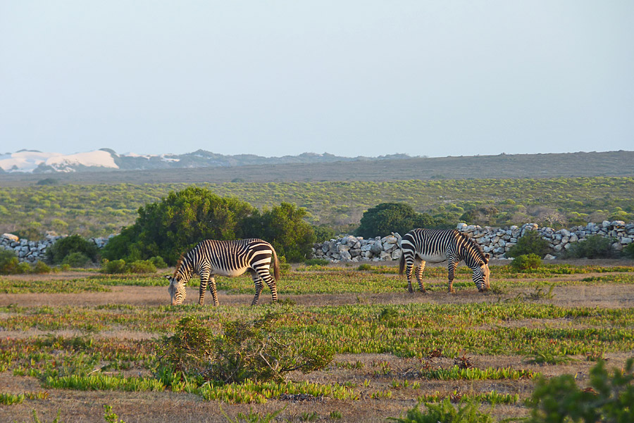 Zebras at De Hoop