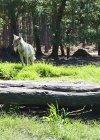 The Wolf Sanctuary