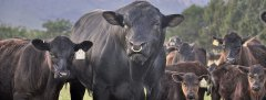 A Boschendal Black Angus bull with the herd.  Now this is healthy beef!