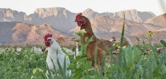 Farmer Rico's pasture-raised free range chickens