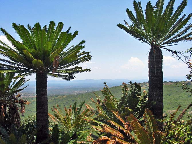 Ancient Cycad forest
