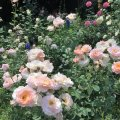 Perfumed roses in the garden