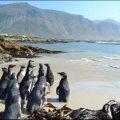 Penguin colony at Stoney Point