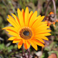 F. Welbedacht Wild Flowers