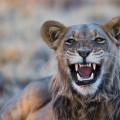 Kalahari Lion 003