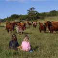 Guests and cattle on Kasouga Farm