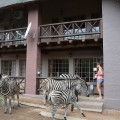 Frontal View Zebra visits