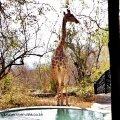 Mtombo - Giraffe at the pool