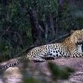 If you are very lucky you may bump into our big male leopard on the Big Cave property