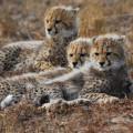 Cheetah Cubs 001