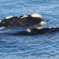 Southern Right Whales close to the rocks