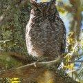 Languedoc_11 owl