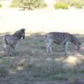 F. Welbedacht Zebra