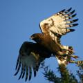 KRM Eagle Birding
