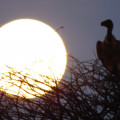 VULTURES AND FULL MOON