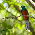 KRM Narina Trogon Birding