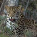 Leopard 002