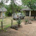 Warthogs sun themselves near Kruger Cottage