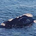 Whale watching in Walker Bay