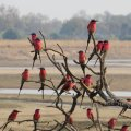 Carmine Bee Eaters who return every year to lay their eggs in the cliffs of the Luangwa.