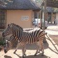 Zebra visiting the property