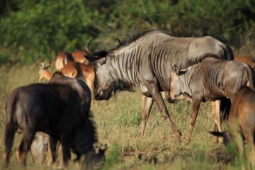 Wildlife - Grazing plains